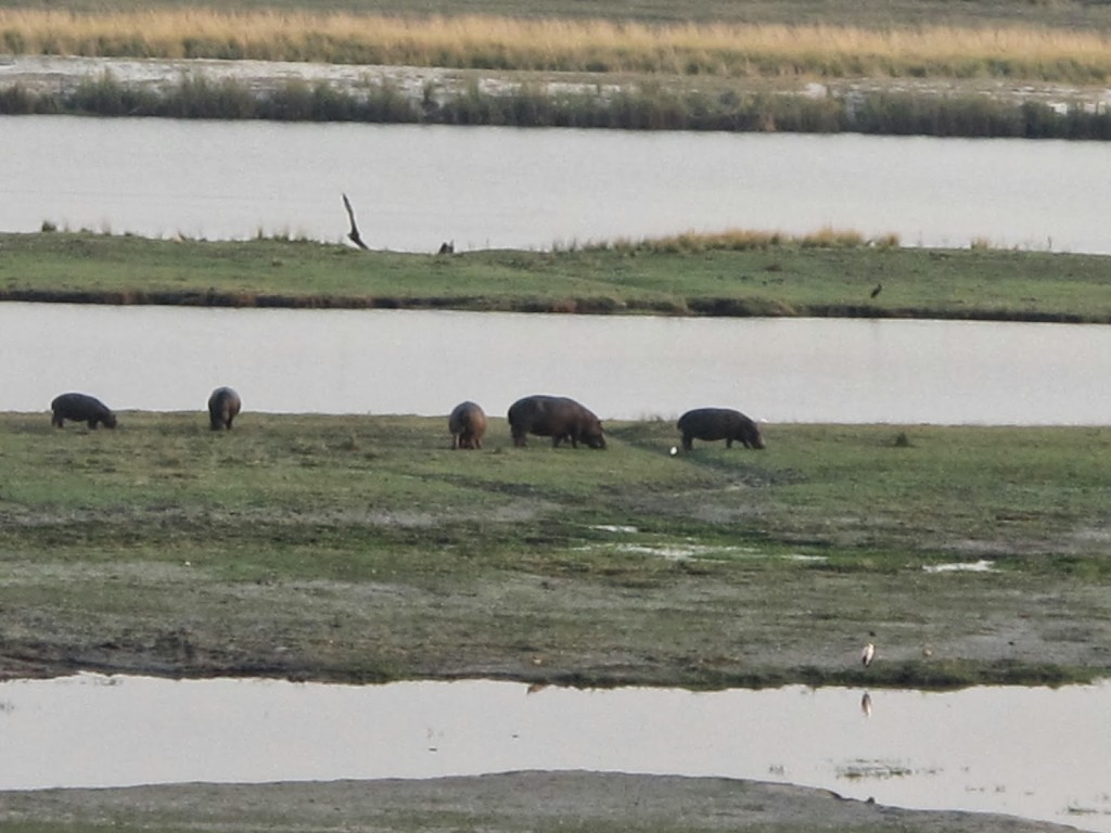 Hippos were up and about today. Quite far from us though