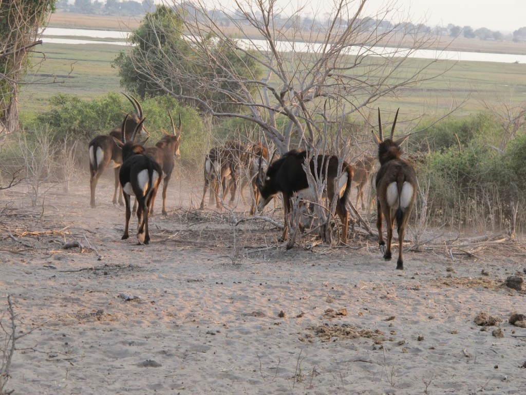 Saw a group of Saber antelopes moving away when we passed them.