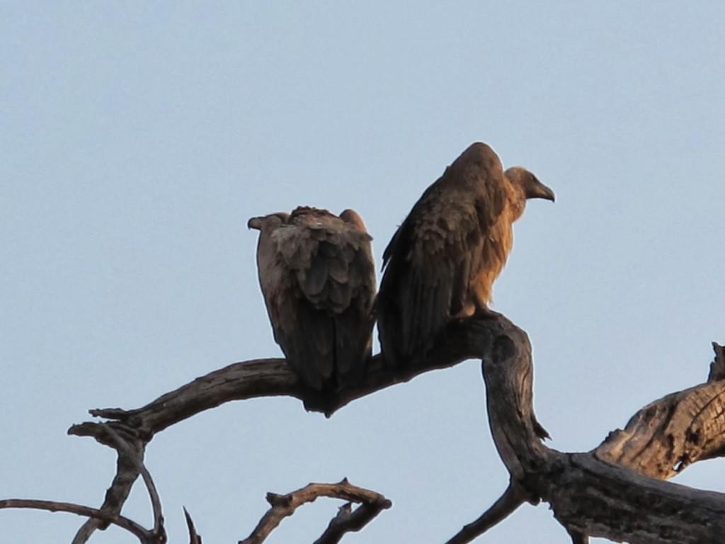 Vultures. A closer shot.