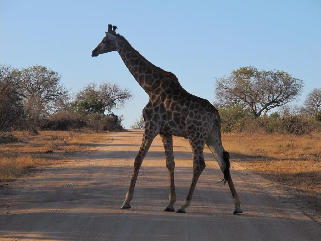 Giraffe crossing the road