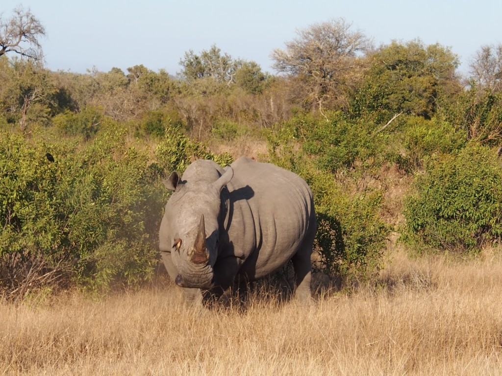 A rhino with a pest removing bird