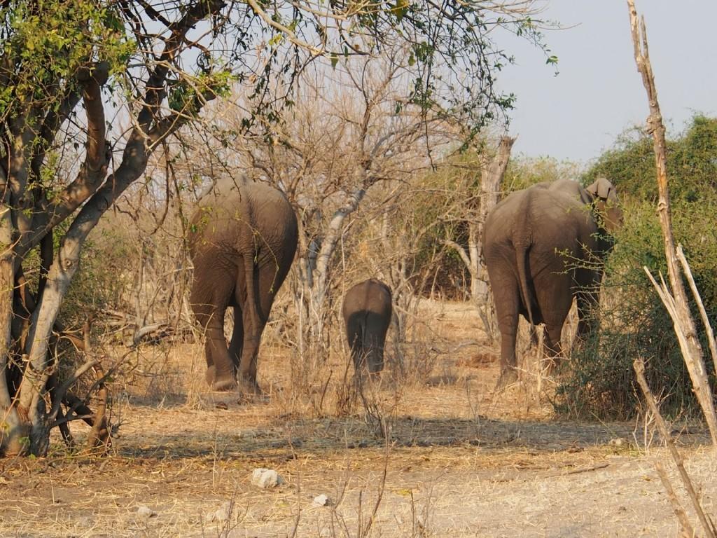 Baby elephant amongst the adults