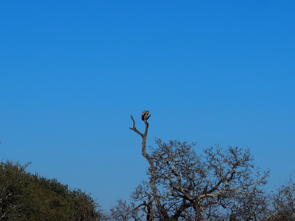 Vulture sitting at the top of a tree. Telephoto lens are essential - I learn.