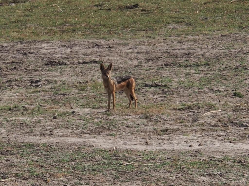 Jackal, last rare sighting before going back