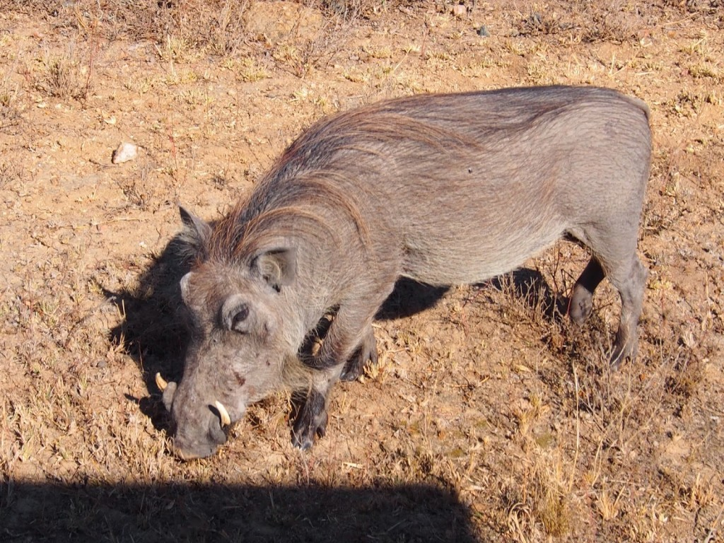 Warthog that is just next to the road. The shadow belongs to our vehicle