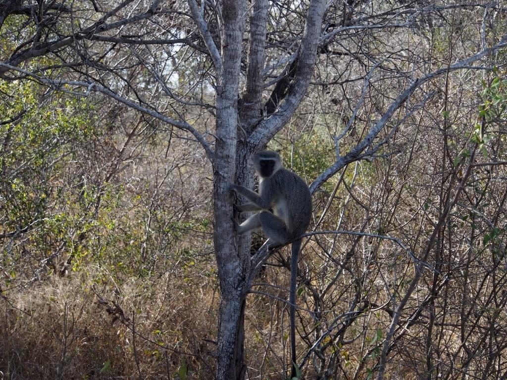 Velvet monkey on a tree