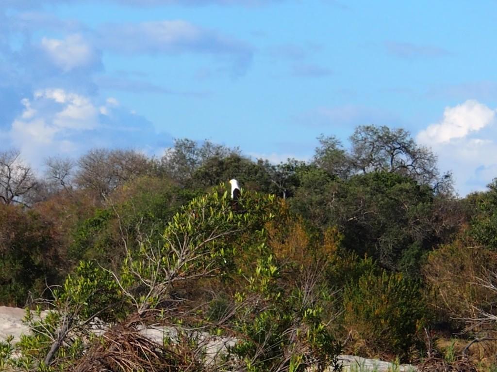 Eagle sitting atop a tree