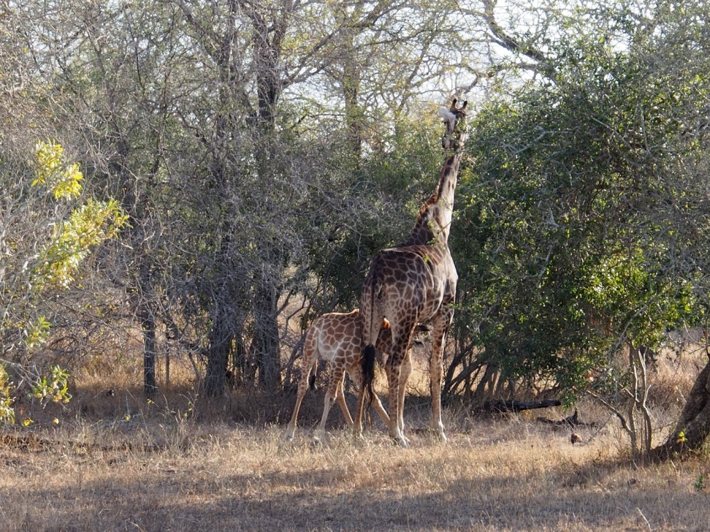 Baby giraffe suckling