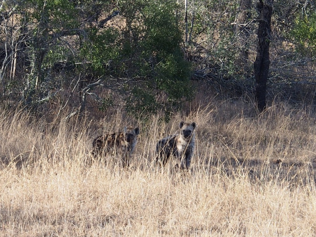 A pair of hyena youths, first time seeing in  the many outings we had in safari