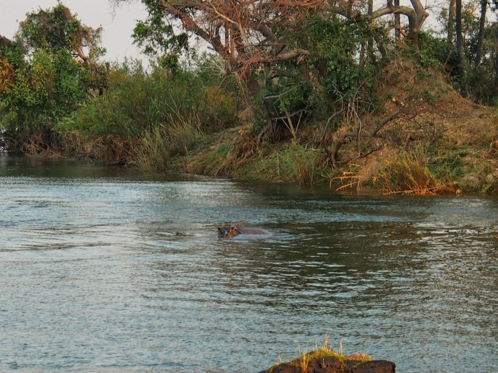 As we cruise towards the falls, we see hippos near the tiny islands.