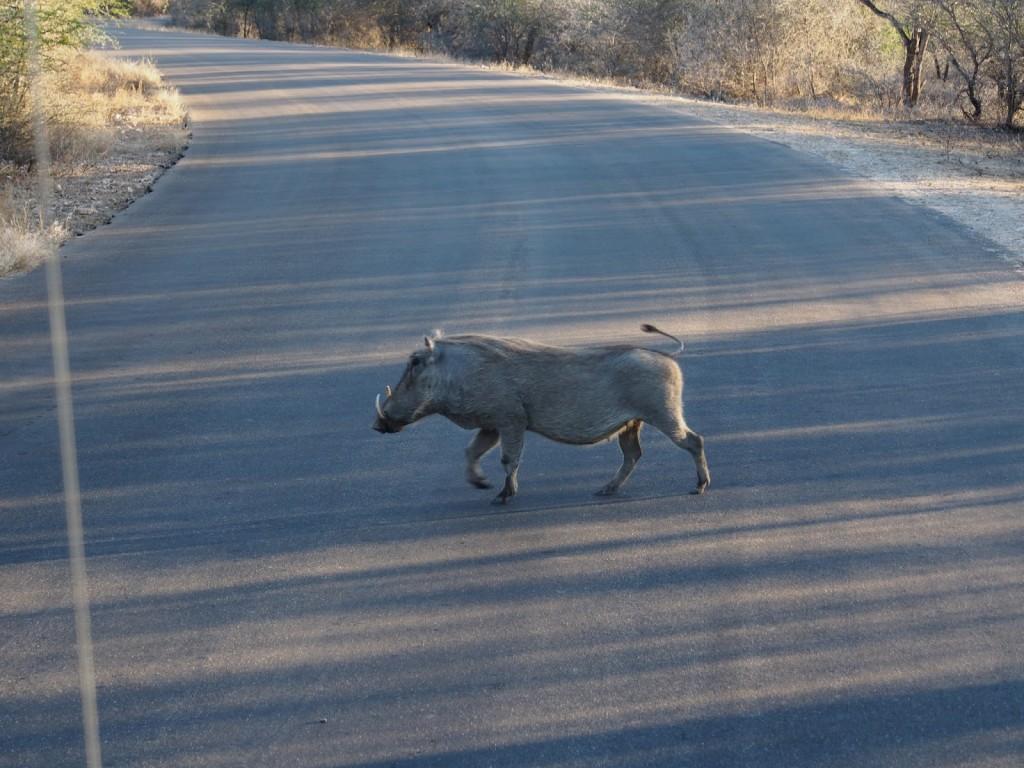 Warthog crossing the road