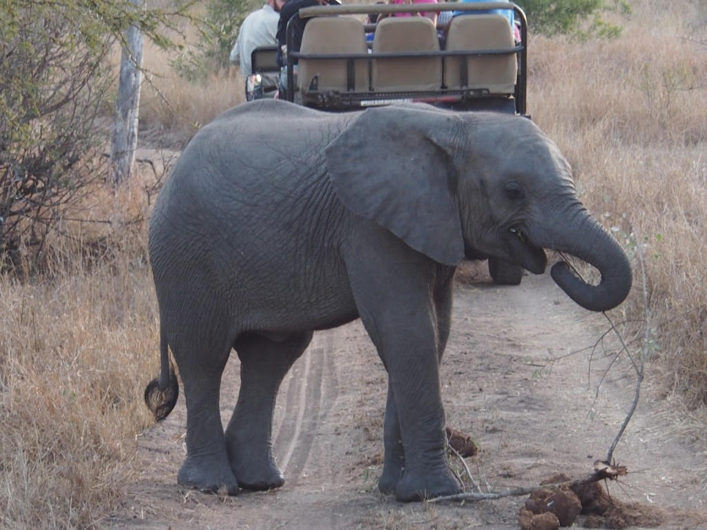 Baby elephant on the track, no tusks yet