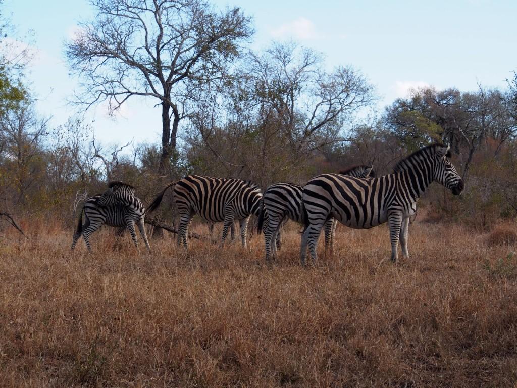 Group of zebras feeding
