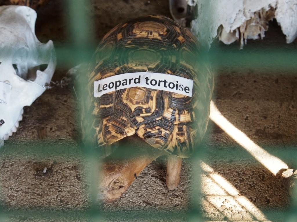Leopard tortoise carcass at an exhibit near the entrance.