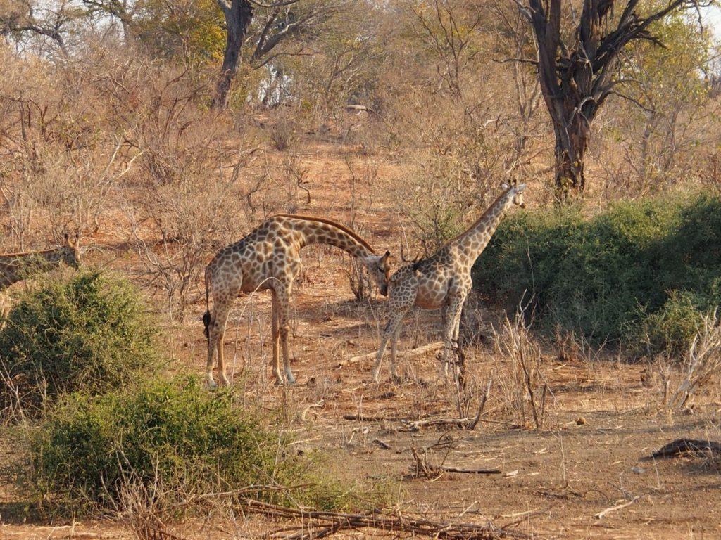 Male giraffe  (darker spots) looking for a partner