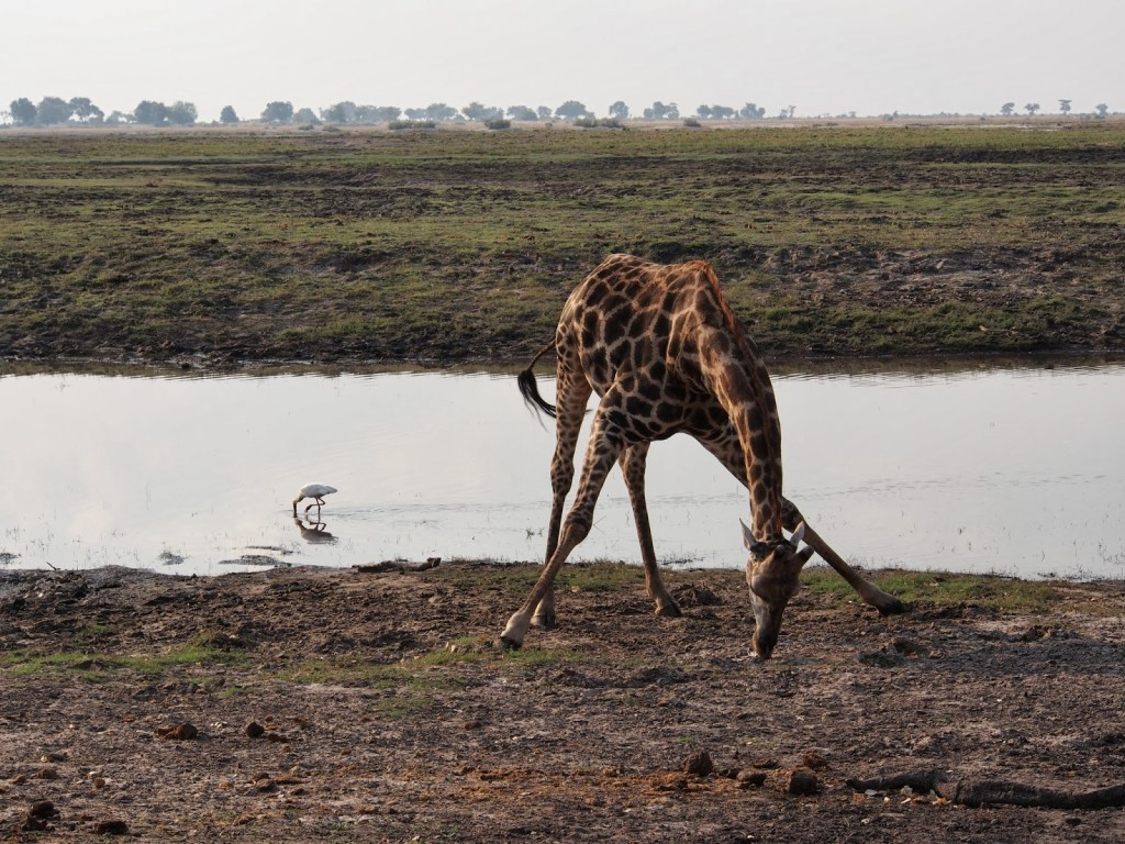 Giraffe licking the ground for salt. Bird trying to catch some food from the river