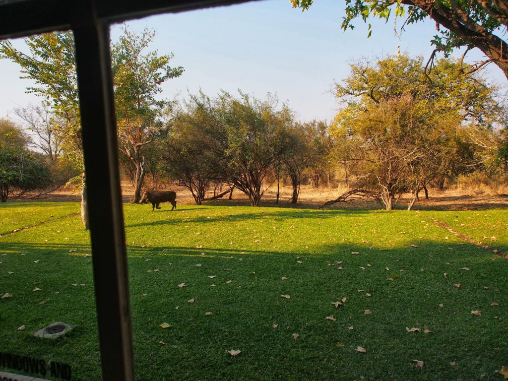 Warthog seen from our room