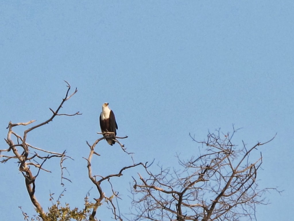 Eagle perched on top of the tree