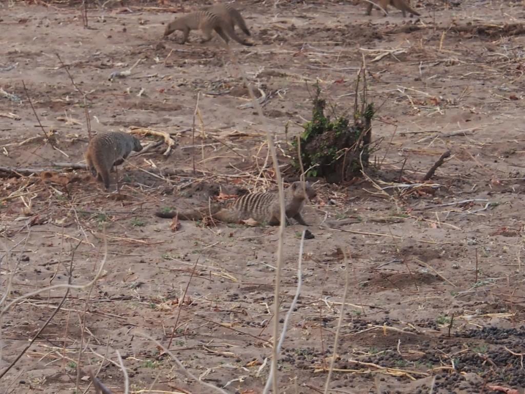 Saw 2 banded mongoose