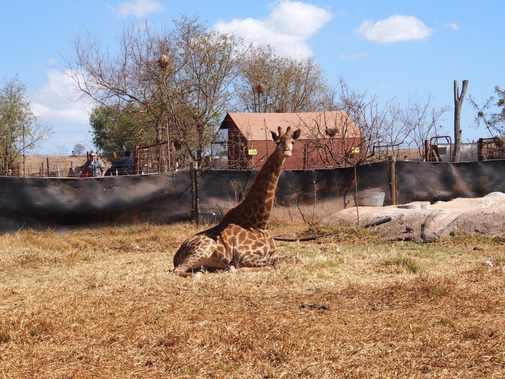 Young giraffe at the entrance