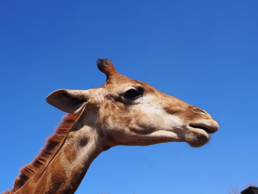 Shot this photo when the young giraffe poke its head across the barrier over me