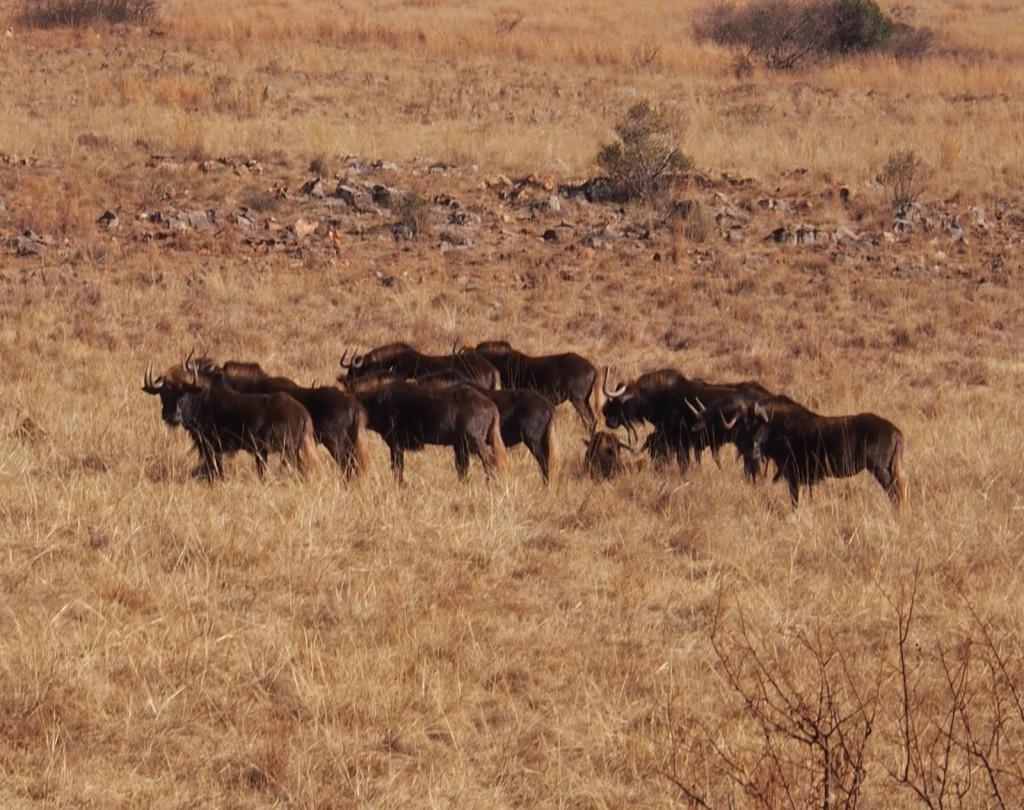 Black Wildebeest with white tails