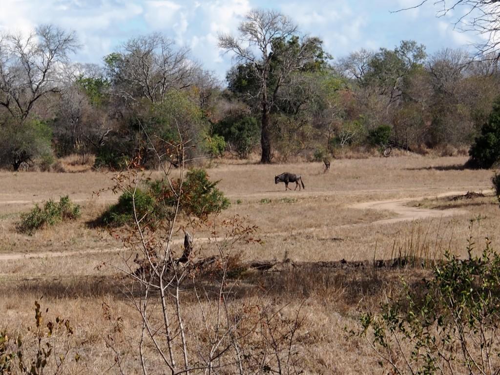 Animals lurking near waterhole, here is a Wildebeest