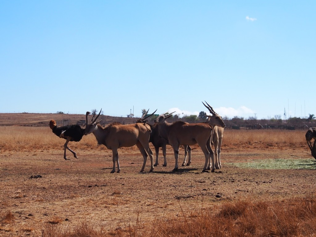 Elands. Soon these horned herbivores become confusing to differentiate.