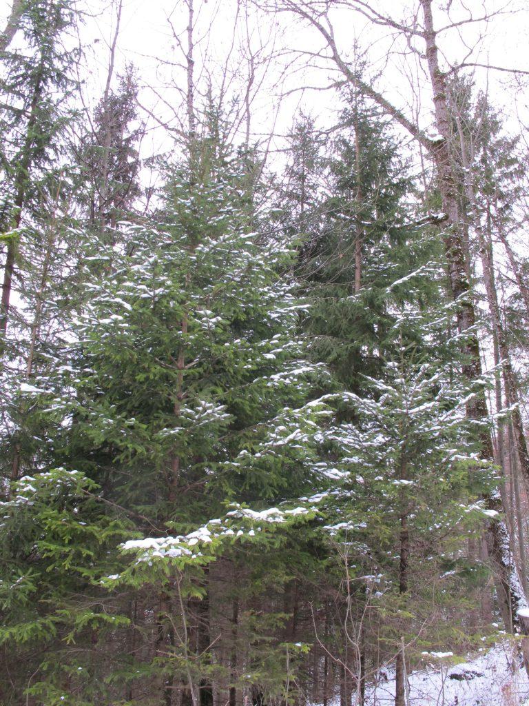 Real Xmas trees.