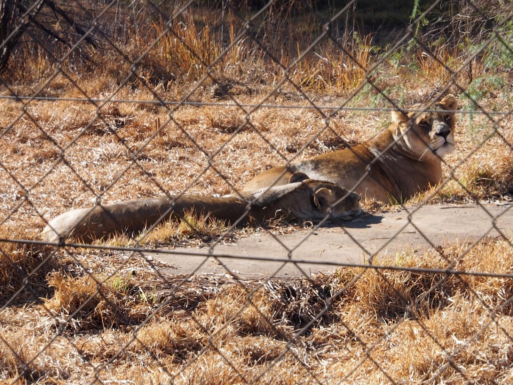 Lionesses close to the road isolated for mating