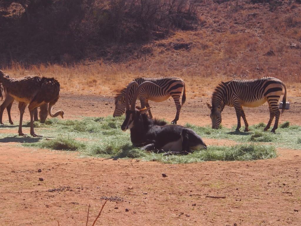 Nice Saber Antelope
