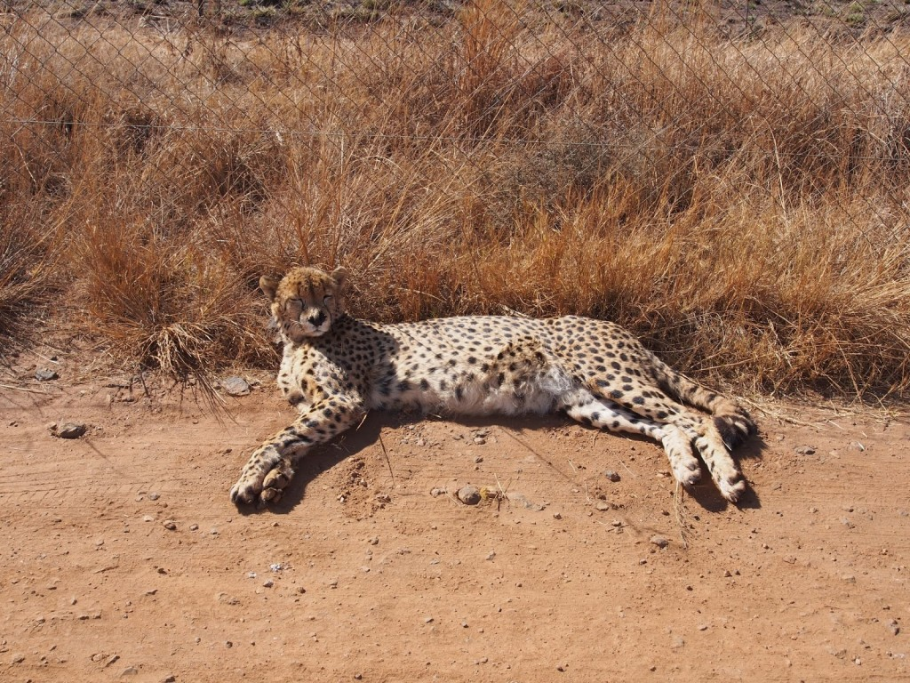 Sleepy cheetah by the road as we drove by