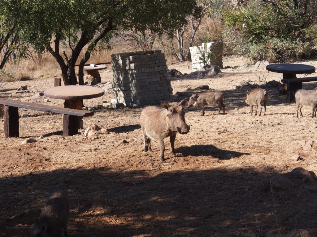 At the cafe, we see a group of warthogs eating away at the ground
