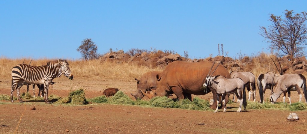 Zebras, Rhinos, Oyrx and warthogs all feeding on the grass left by the owners