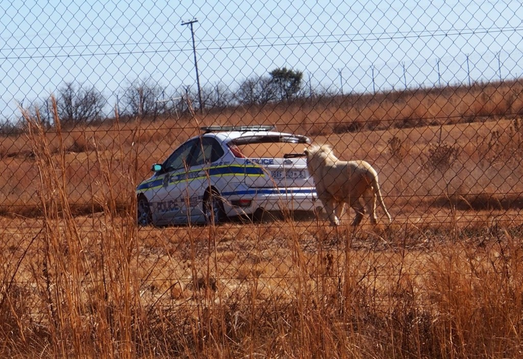 It's not often that you see a police car get chased by a white lion. I wonder what the police is doing here anyways.