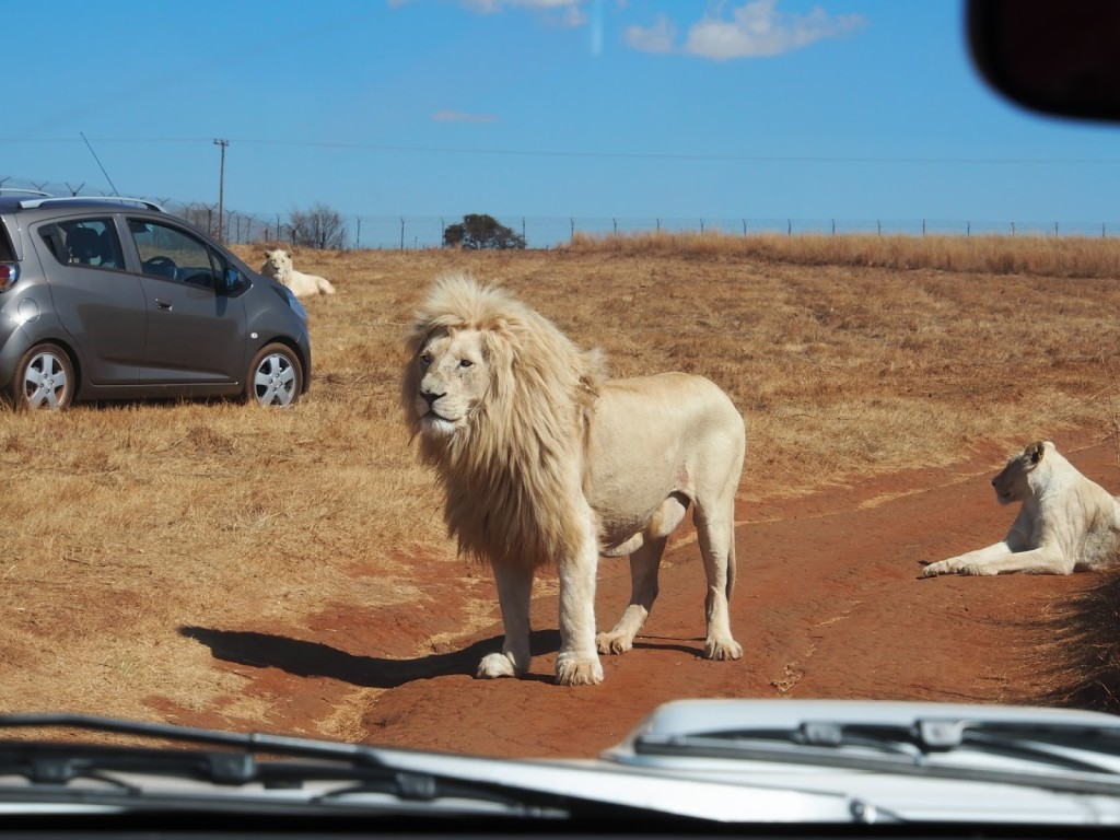 White lion standing on the road in front of our car