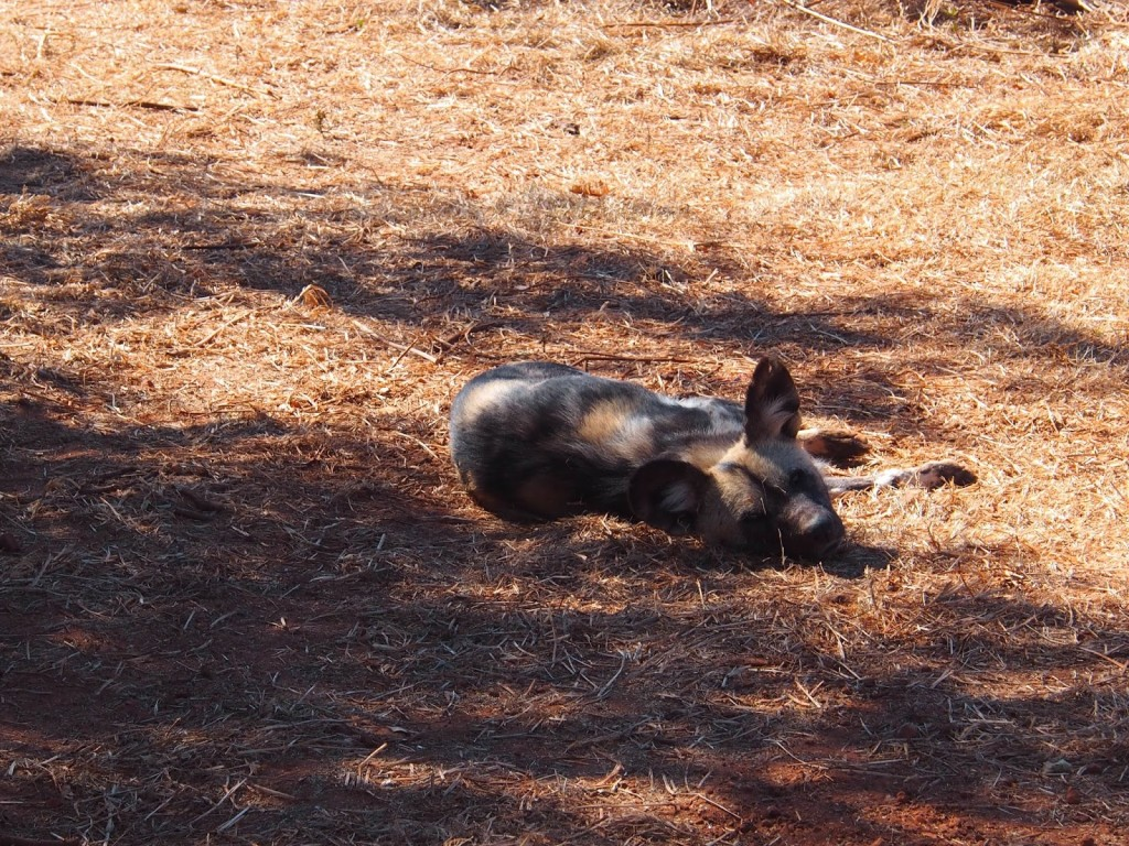 The wild dogs are hard to locate, hiding from the sun