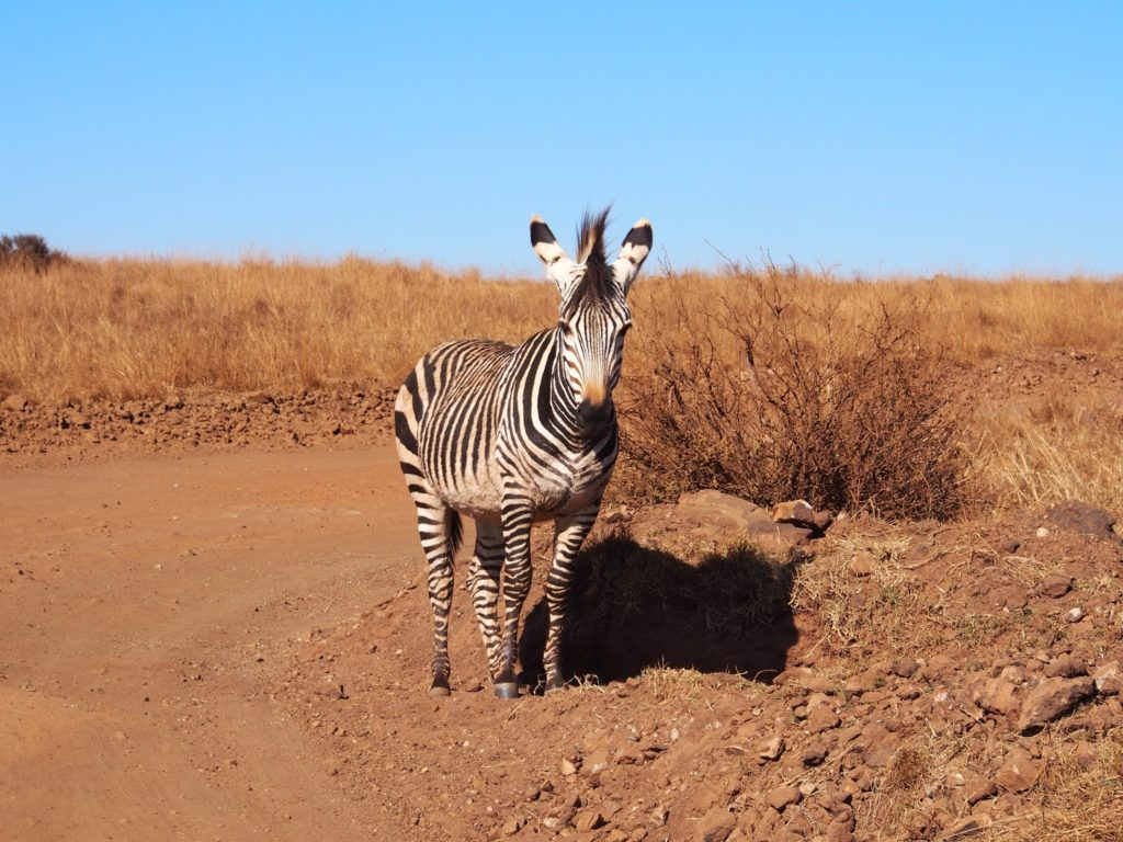 A zebra was just around the corner while we are drove to the wondercave