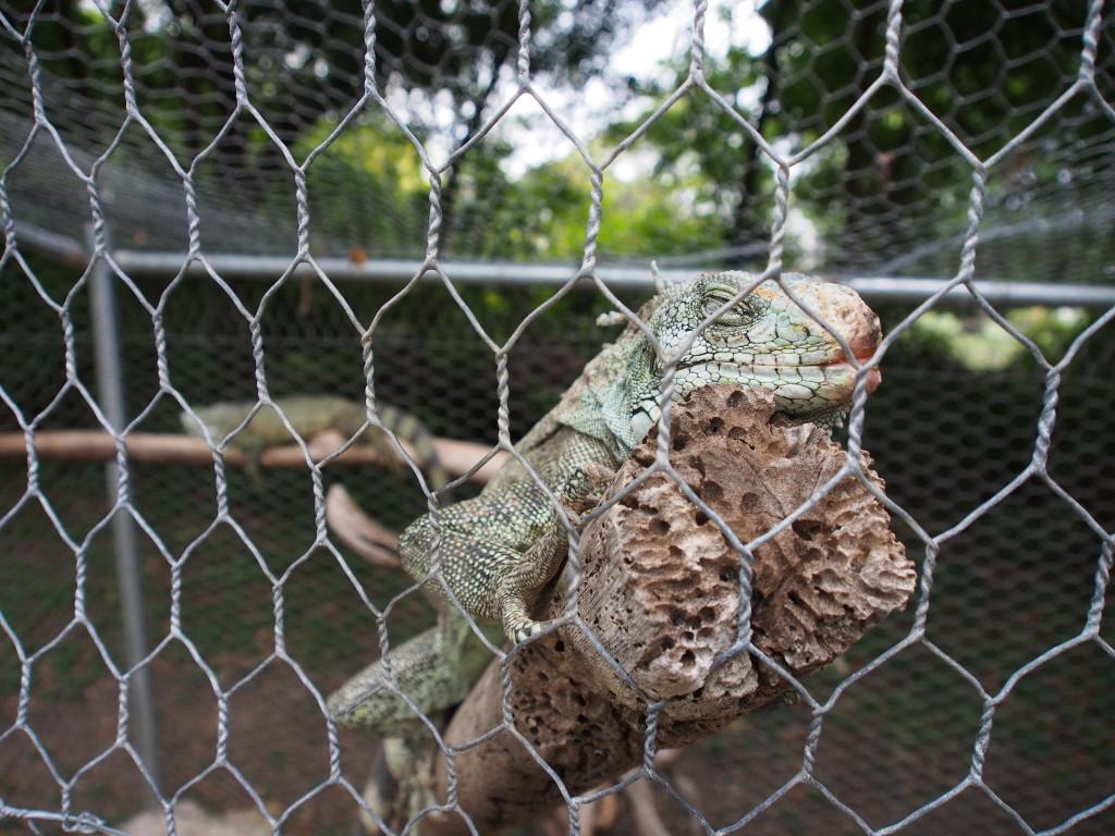Sleepy iguana.
