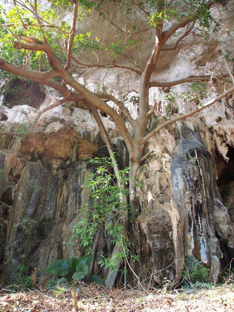 Tree growing into the rocks.