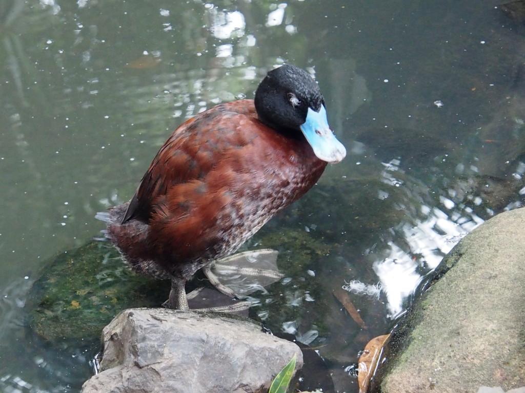 Blue Bill duck
