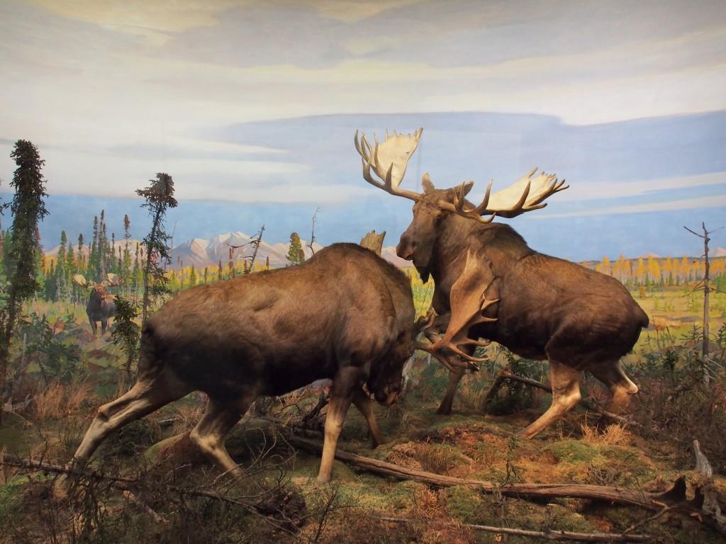 Moose Exhibits.