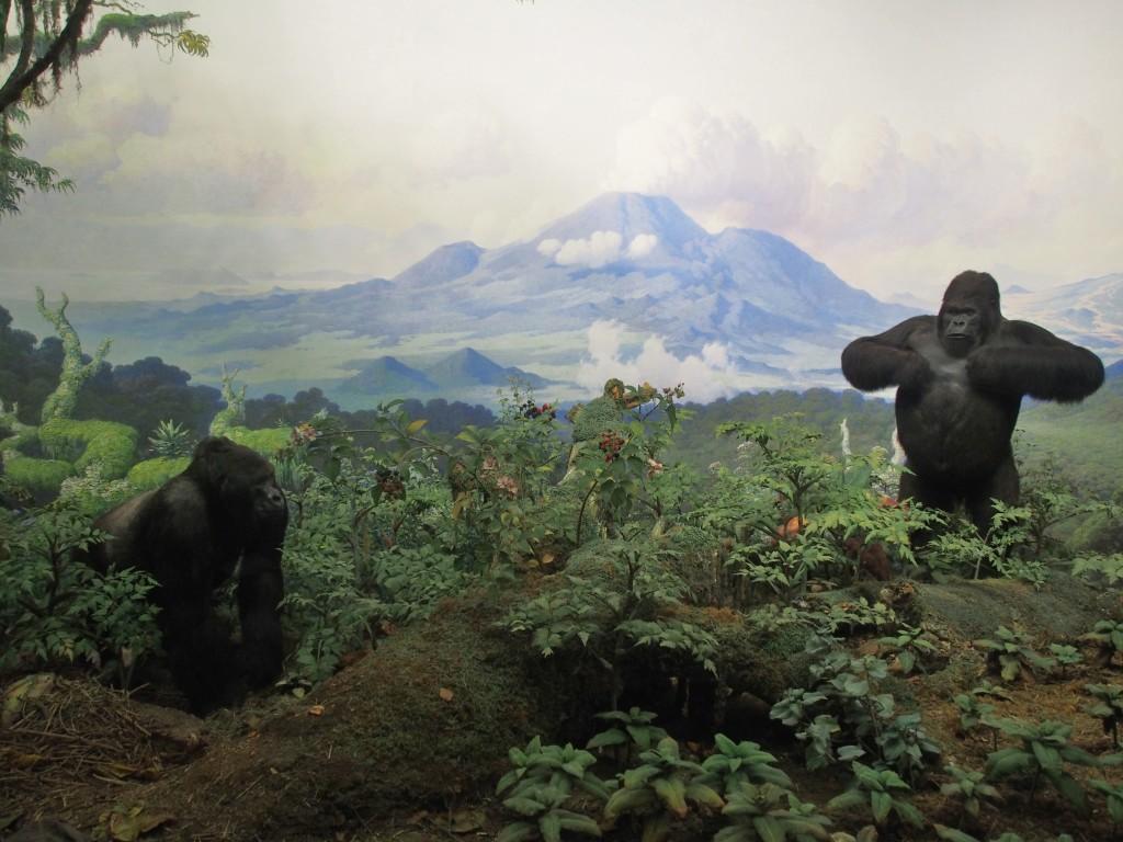 Congo gorillas.