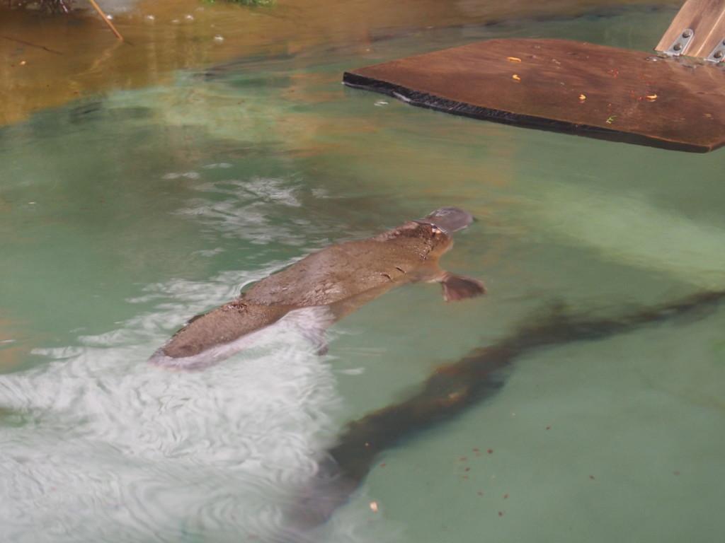 The biggest platypus in Tassie? Small fellow still.