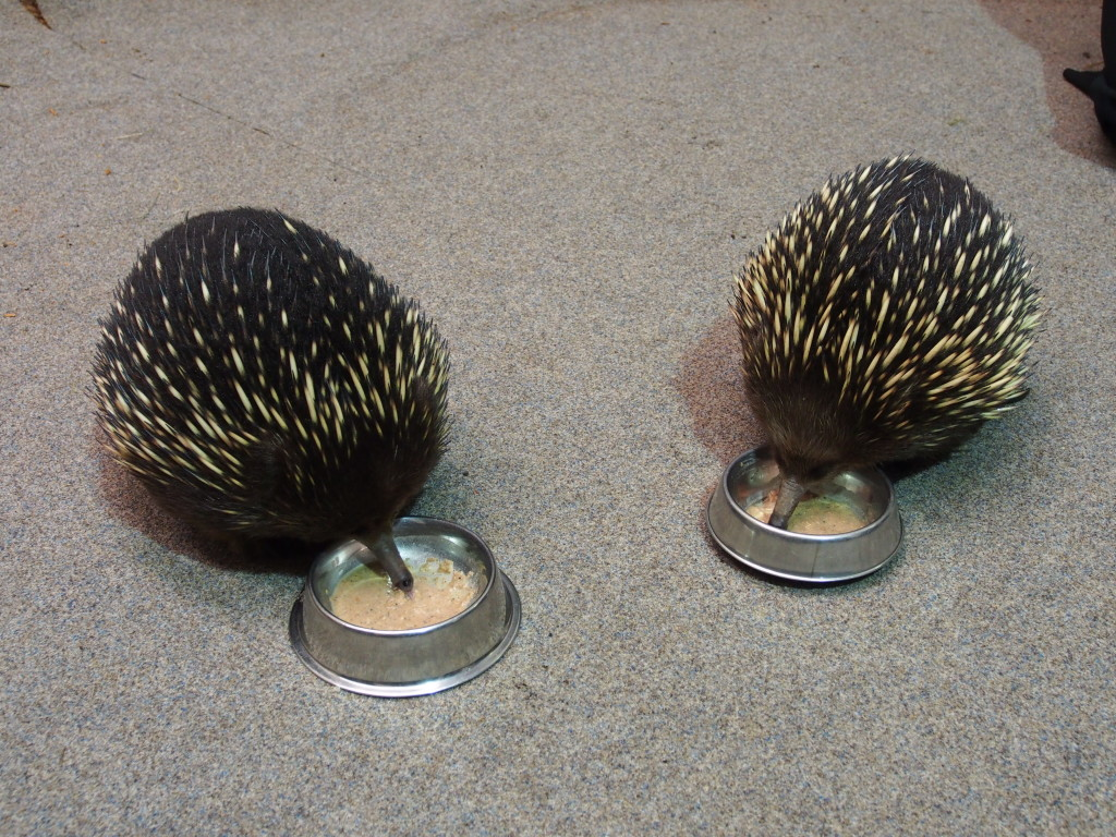 Double Echidna eating.
