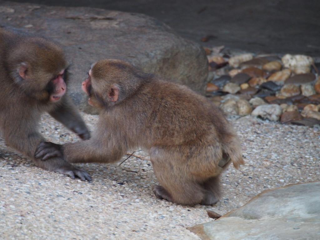 Baby Japanese monkey.