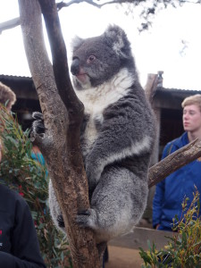Koala taken out of his enclosure for visitors to get close to.