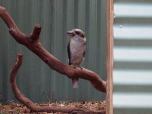 Kookabura.