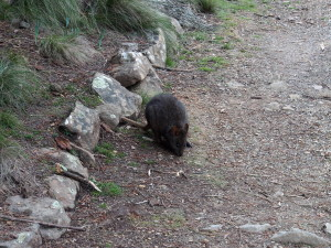 Pademelon seen in the park.