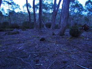 Early Pademelon grazing.